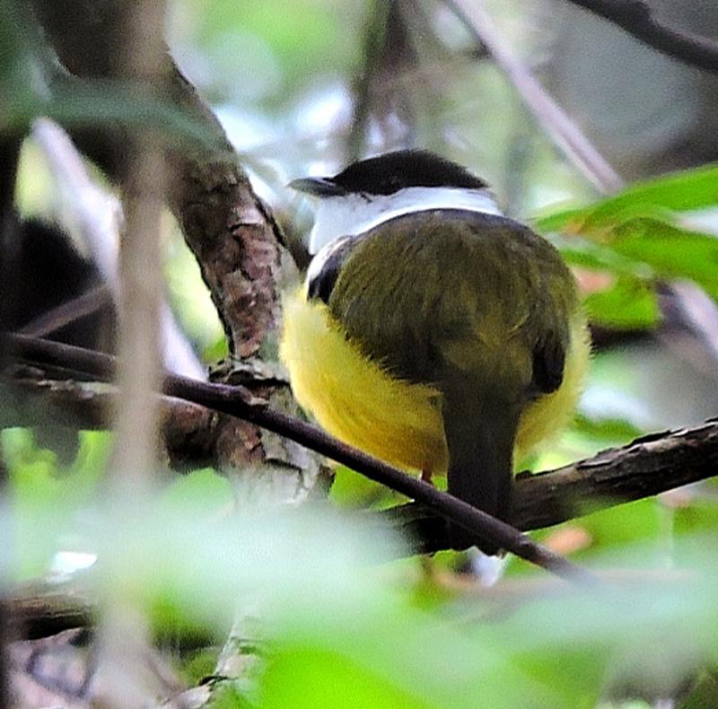 White-collared Manakin - Guatemala